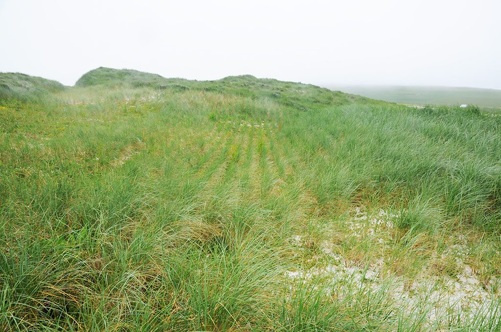 Lots of grass on the sandy beach at Links of Noltland